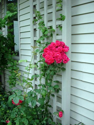 Roses 7-16-2009 6-32-37 PM