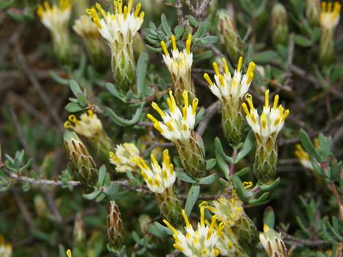 Pteronia adenocarpa (cf.)