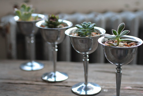 Succulent Champagne