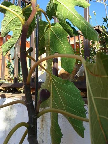 Violette De Bordeaux Figs by Veronica in LA