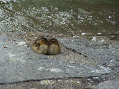 yeah, ducks . . .
