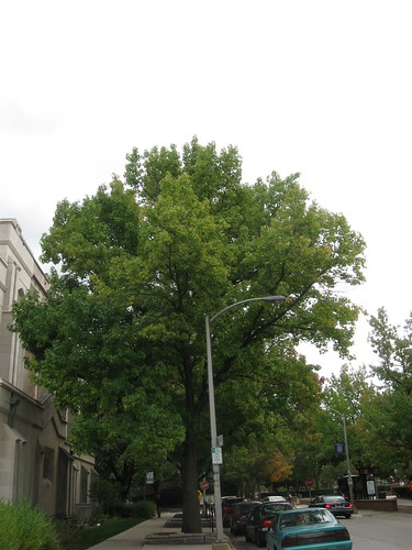 Transition Thursday - Week 1 - Liquidambar styraciflua