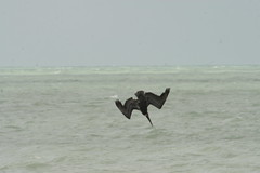 Brown Pelican Dive 2