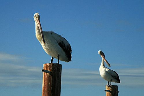 Kingscote Pelicans