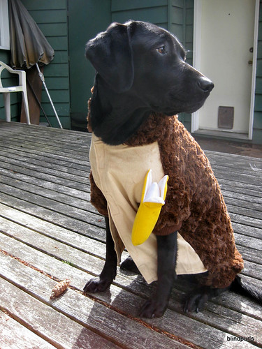 Faye the Black Lab Guide Dog off duty dressed up in a monkey costume