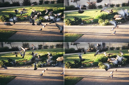 Pigeon frenzy