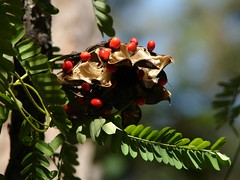 Seedpods of Coral bead vine, or Gidee-Gidee