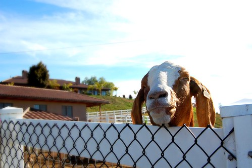 Goat in Bonsall, CA