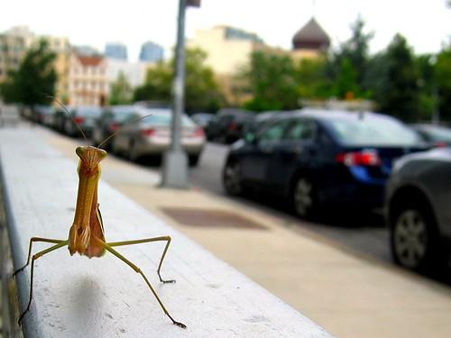 Praying mantis I saw near my apartment.