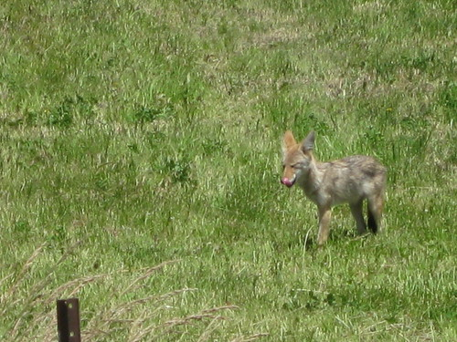 Little Coyote