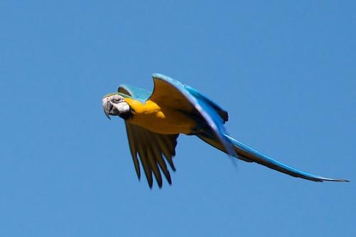 Parrot in Flight