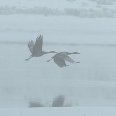 A thick fog shrouds a trio of sandhill cranes ...