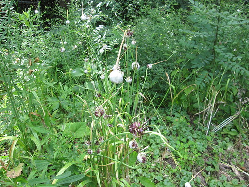 Wild Onion (Allium Vineale)