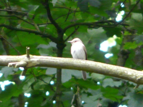 Spotted Flycatcher (record shot)