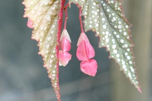 Pot Begonia