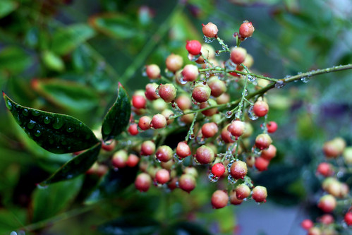 Nandina-Berries2