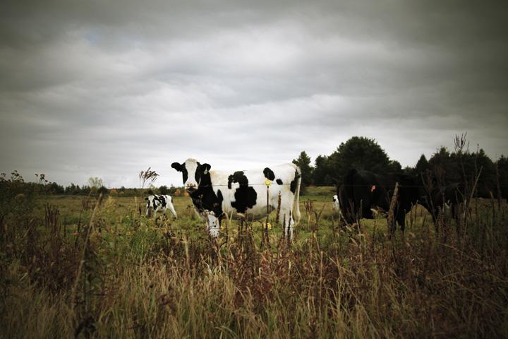 organic奶牛