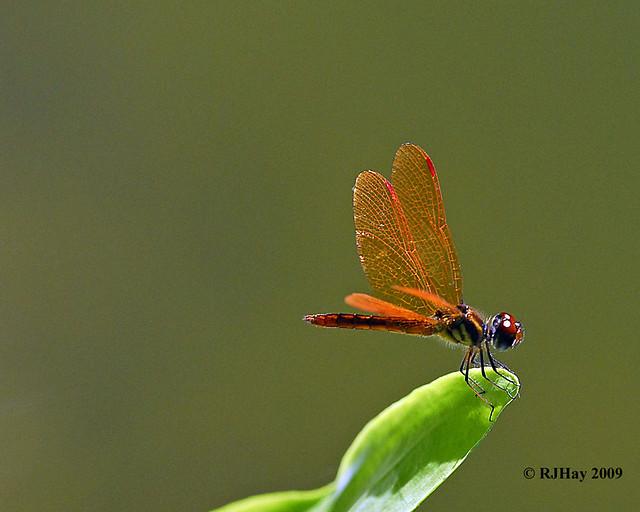 Orange-red Dragonfly - Punta Cana - 2009