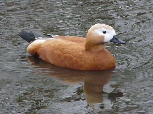 Ruddy Shelduck (captive)