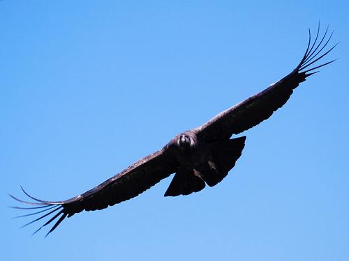 Juvenile Andean Condor 2/3