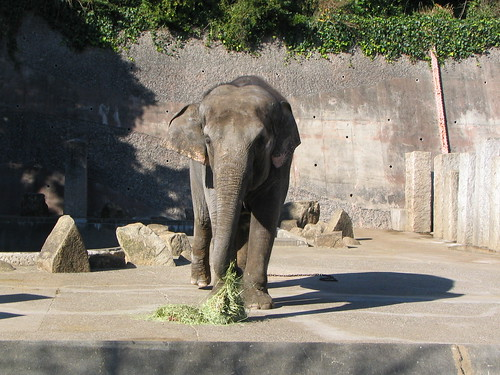 金沢動物園のインドゾウ(Indian Elephant at Kanazawa Ecological Zoo, Japan)