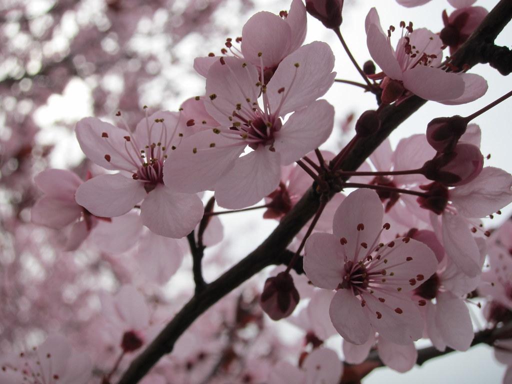 Ephermeral plum blossoms