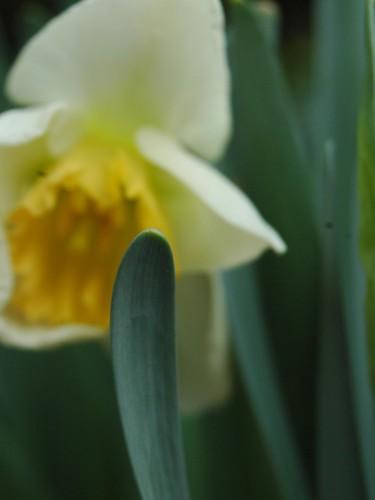 White Daffodil2