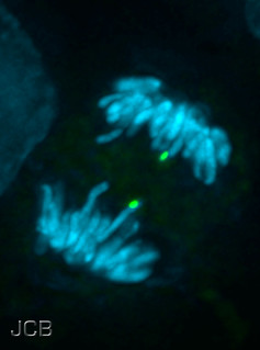 Chromosome segregation during mitosis