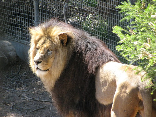 Lion at the Melbourne Zoo