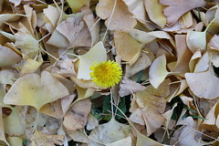 dandelion and gingko leaves