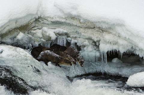 three otters in an ice cave looking down on a frozen pond