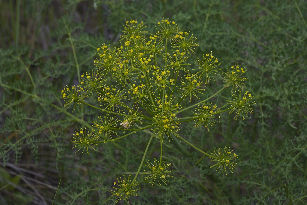 Suksdorf's desert-parsley