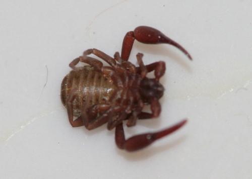 Pseudoscorpion, Chelifer cancroides
