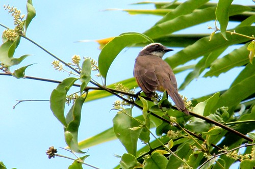 Lesser Kiskadee on Bird Vine growing on a mango tree