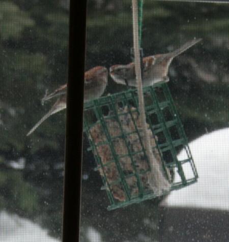 American Tree Sparrows at suet