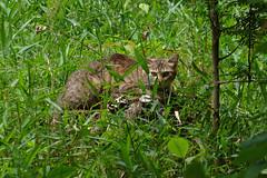 泉の森(泉の森緑地)の猫(Cat, Izuminomori park, Yamato, Kanagawa, Japan)