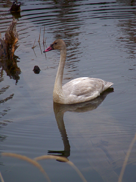 Whistling swan, immature