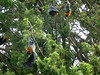 Flying Foxes at Sydney Royal Botanic Garden