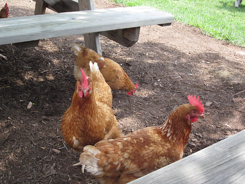 Chickens at Veritas