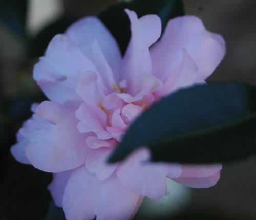 pink camillia w leaf