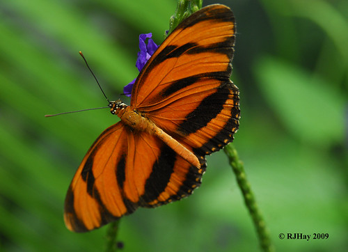 Orange Tiger Butterfly, Butterfly Conservatory, Niagara Falls, Ontario