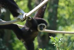 Weißhandgibbon im Zoo de Doué-la-Fontaine