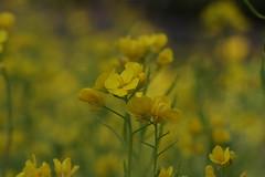 金沢自然公園の菜の花(Rape at Kanazawa Nature Park, Japan)