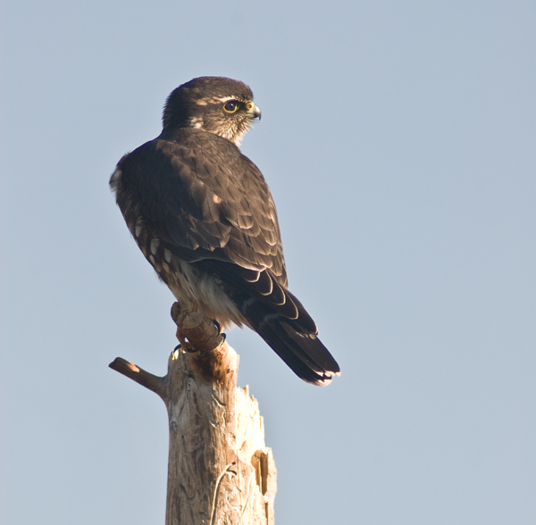 A Merlin on one of our snags