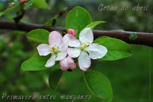 Primavera entre manzanos