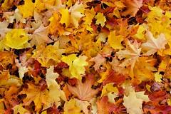 Pile of leaves (autumn)