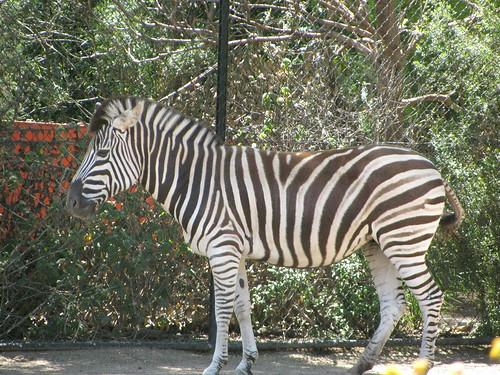 Zebra at the Melbourne Zoo