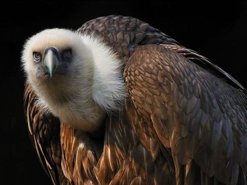 griffon-vulture_12587_600x450