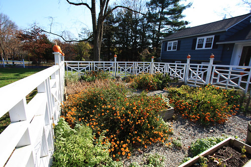 Garden Taken Over By Marigolds