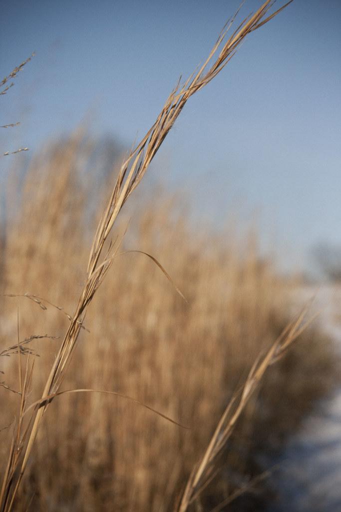 wheat?